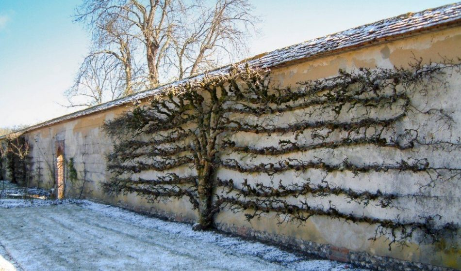 Houghton Lodge Hampshire - Espalier in Winter