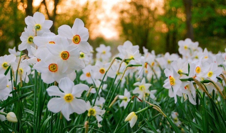 Houghton Lodge Hampshire - White Narcissi