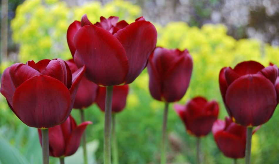 Village House Hampshire - Red Tulips